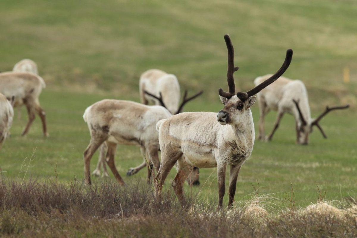 reindeers, Seyðisfjörður, Eastfjords