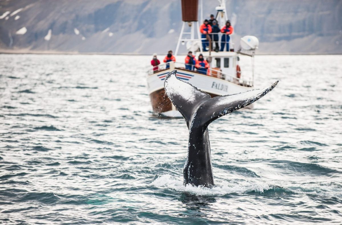 Whale Watching ( North of Iceland )