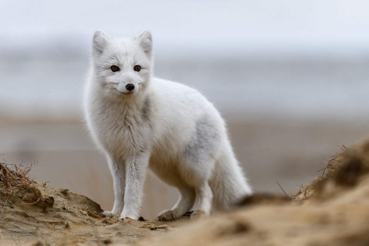 white arctic fox in iceland