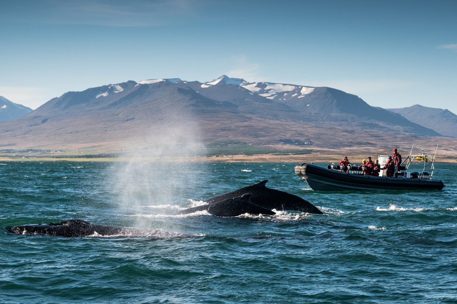 a herd or whales interacting with a boat