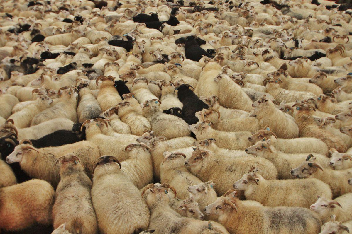 Réttir sheep gathering festival
