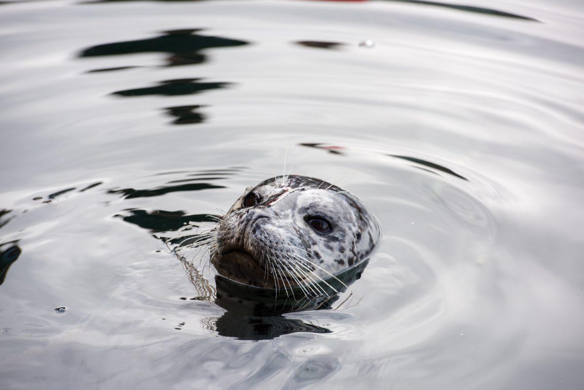 Seal at Ytri Tunga