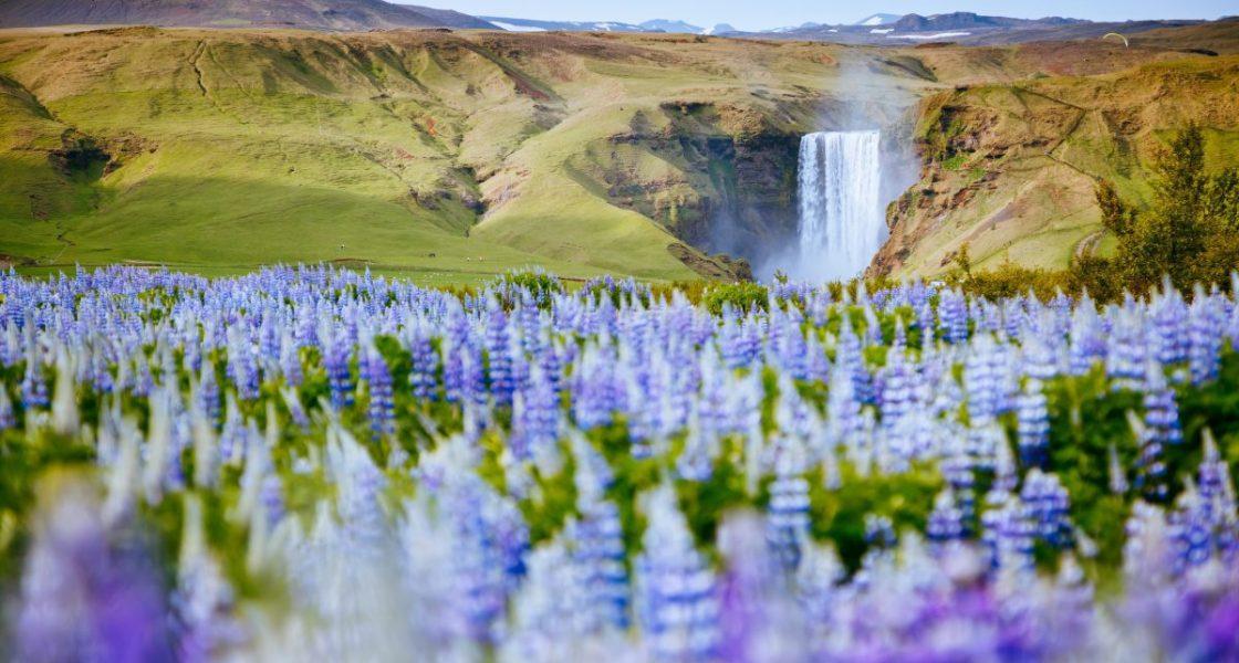 Champs de lupin devant la cascade Skogafoss en Islande