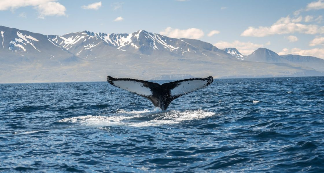 A whale during a whale watching tour in Iceland