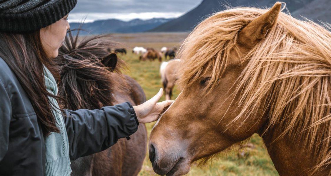 icelandic horses with long mane