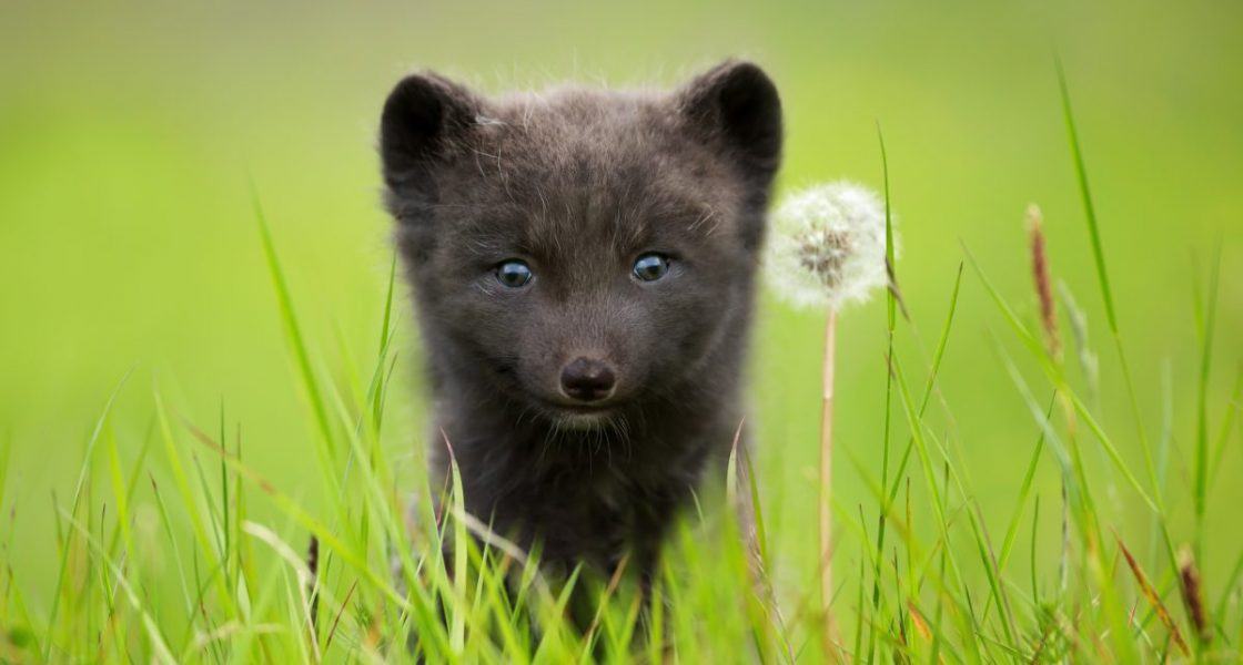 An arctic fox in Iceland