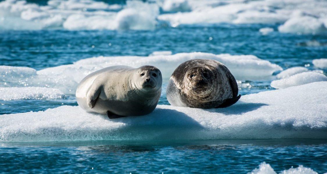 seals sun bathing on a floating ice in jokulsarlon