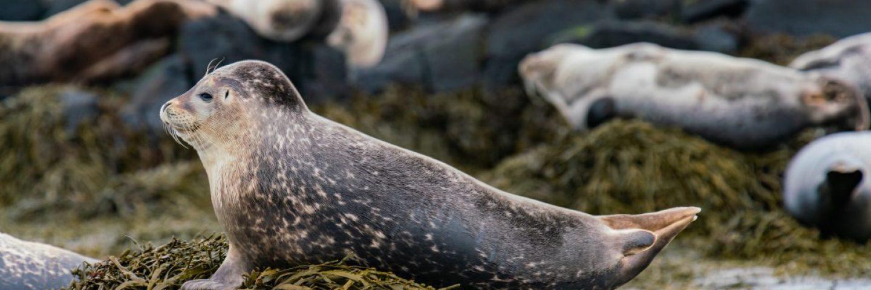 Seals at Ytr Tunga